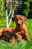 Rhodesian Ridgeback lying with her puppies on grass. Beautiful large Rhodesian Ridgeback dog lying with her litter of three 3-week-old puppies on the green grass Stock Images