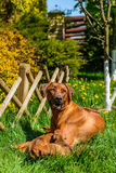 Rhodesian Ridgeback lying with her puppies on grass stock photos