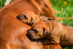 Rhodesian Ridgeback lying with her puppies on grass. Beautiful large Rhodesian Ridgeback dog lying with her three 3-week-old puppies on the green grass in the Royalty Free Stock Images