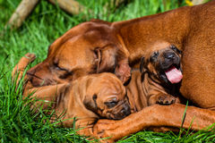 Rhodesian Ridgeback lying with her puppies on grass. Beautiful large Rhodesian Ridgeback dog lying with her two 3-week-old puppies on the green grass in the Royalty Free Stock Photo