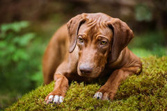 Rhodesian Ridgeback lying on moss in the forest Royalty Free Stock Photography