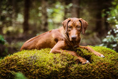Rhodesian Ridgeback lying on moss in the forest Stock Photos