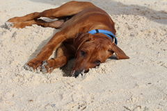 Rhodesian Ridgeback Lying in Sand Stock Image