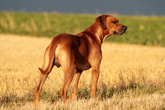 Rhodesian Ridgeback Male Royalty Free Stock Photography