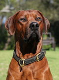 Rhodesian Ridgeback male Stock Photography