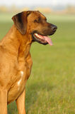 Rhodesian ridgeback male Stock Images