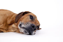 Rhodesian ridgeback male dog 10 years lying stock photo