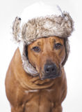 Rhodesian ridgeback male dog, 3 years old with cap Royalty Free Stock Images