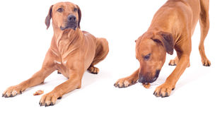 Rhodesian ridgeback male dog, obiedent Stock Photos