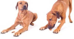 Rhodesian ridgeback male dog, obiedent Stock Photos