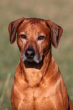 Rhodesian Ridgeback Male Portrait Stock Photography
