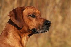 Rhodesian Ridgeback Male Portrait stock photography