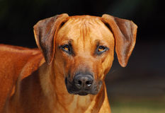 Rhodesian Ridgeback male portrait Royalty Free Stock Image