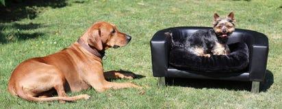 Rhodesian Ridgeback med Yorkshire Terrier Arkivfoton
