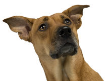 Rhodesian Ridgeback mix Stock Photo