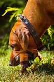 Rhodesian Ridgeback mother dog carry her puppy with mouth. Anxious Rhodesian Ridgeback mother dog takes her 3-week-old puppy by mouth, close-up portrait Royalty Free Stock Images