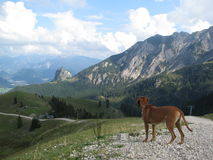 Rhodesian ridgeback in the mountains Royalty Free Stock Images