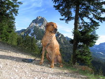 Rhodesian ridgeback in the mountains Stock Images