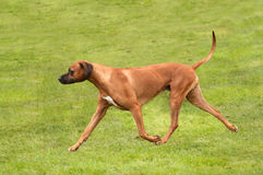 Rhodesian ridgeback on the move Royalty Free Stock Images