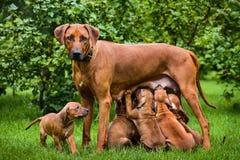 Rhodesian Ridgeback nursing her puppies in the garden Royalty Free Stock Photo