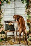 Rhodesian Ridgeback opierający na krzesła backwards pokazywać swój ono pozbywa się Zdjęcia Stock