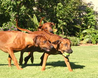 Rhodesian Ridgeback pack Royalty Free Stock Images