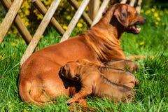 Rhodesian Ridgeback pielęgnuje jej szczeniaki w ogródzie Fotografia Stock