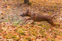 Rhodesian Ridgeback pies Biega Na jesień liściach Mlejących Obraz Stock