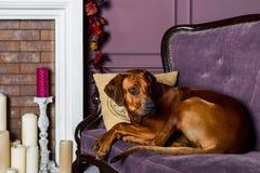 Rhodesian Ridgeback pies na kanapie przed grabą Zdjęcia Royalty Free