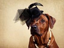 Rhodesian Ridgeback pies ubierał w kolii i kapeluszu Fotografia Royalty Free
