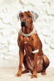 Rhodesian Ridgeback pies ubierający jak panna młoda Zdjęcie Stock