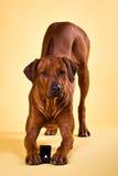 Rhodesian Ridgeback pies z obrączką ślubną Zdjęcia Stock