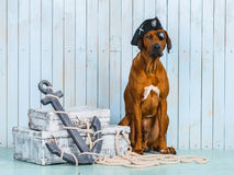 Rhodesian Ridgeback pirate-dog with its treasures. Rhodesian Ridgeback dog dressed like a pirate sitting with its treasures and an anchor Royalty Free Stock Photos