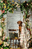Rhodesian Ridgeback with a plaid in autumn decorations. Rhodesian Ridgeback with an autumn leaf in its mouth sitting on a chair covered with a plaid in autumn Stock Photos