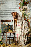 Rhodesian Ridgeback with a plaid in autumn decorations. Rhodesian Ridgeback with an autumn leaf in its mouth sitting on a chair covered with a plaid in autumn Royalty Free Stock Photography