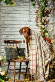 Rhodesian Ridgeback with a plaid in autumn decorations. Rhodesian Ridgeback with an autumn leaf in its mouth sitting on a chair covered with a plaid in autumn Stock Photography