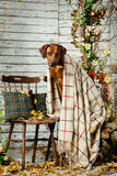 Rhodesian Ridgeback with a plaid in autumn decorations Stock Images