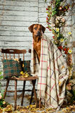 Rhodesian Ridgeback with a plaid in autumn decorations. Rhodesian Ridgeback with an autumn leaf in its mouth sitting on a chair covered with a plaid in autumn Stock Image
