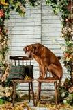 Rhodesian Ridgeback with a plaid in autumn decorations. Rhodesian Ridgeback sitting on a chair in autumn decorations Stock Photography