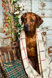 Rhodesian Ridgeback with a plaid in autumn decorations. Rhodesian Ridgeback sitting on a chair covered with a plaid in autumn decorations Royalty Free Stock Images