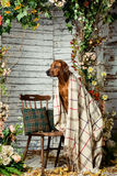 Rhodesian Ridgeback with a plaid in autumn decorations. Rhodesian Ridgeback sitting on a chair covered with a plaid in autumn decorations Royalty Free Stock Photography