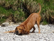 Rhodesian ridgeback by playing near the river Walchen Sylvenstein lake Royalty Free Stock Image