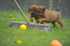 Rhodesian Ridgeback playing puppies. Portrait of Rhodesian Ridgeback Puppies are playing with a broom Stock Photography
