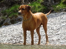 Rhodesian ridgeback by playing in the river Walchen near Sylvenstein lake Royalty Free Stock Images