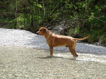 Rhodesian ridgeback by playing in the river Walchen near Sylvenstein lake Royalty Free Stock Photo