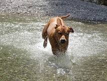 Rhodesian ridgeback by playing in the river Walchen near Sylvenstein lake Stock Photography