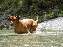 Rhodesian ridgeback by playing in the river Walchen near Sylvenstein lake Stock Images