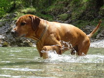 Rhodesian ridgeback by playing in the river Walchen near Sylvenstein lake Stock Image