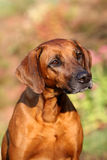 Rhodesian Ridgeback Portrait Royalty Free Stock Photo
