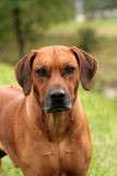 Rhodesian Ridgeback Portrait Stock Photography